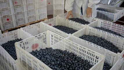 Crates of blueberries, Workers sort blueberries at a packing facility