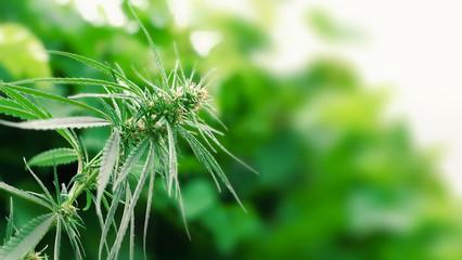 CBD cannabis formula  Cannabidiol molecule  Has