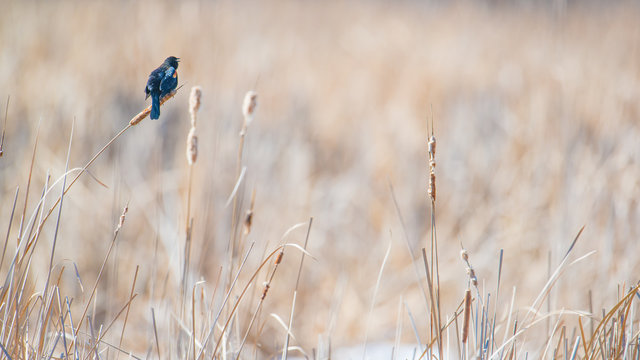 Red-winged blackbird in a sea of cattails - late Winter / early Spring - migration - recently arrived at Wood Lake Nature Center in Minnesota from down South
