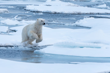 POlar Bear jumping a gap in the sea ice