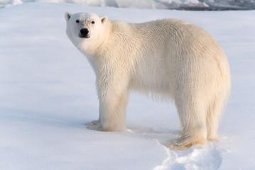 Deurstickers Ijsbeer Polar Bear on sea ice looking at camera, nice golden light
