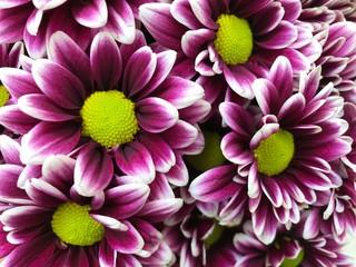 Purple Dahlias with yellow center. Photo image