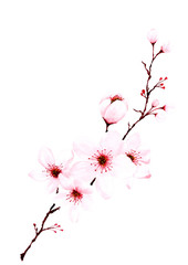 Watercolor sakura branches hand painted.