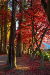 Wall Murals Magenta Autumn Trees