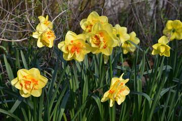 Papiers peints Narcisse Narcisses jaune au jardin au printemps