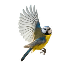 Fototapeta Blaumeise Singvogel im Flug, freigestellt obraz