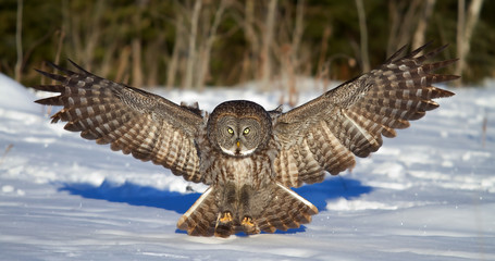 Great grey owl with wings spread out prepares to pounce on prey in winter in Canada Fotoväggar