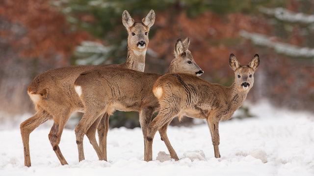 Roe deer, capreolus capreolus, herd in deep snow in winter. Group of wild animal in freezing environment. Cold wildlife scenery.