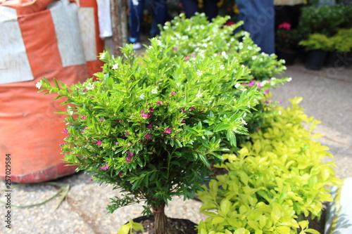 f7683351f Arbusto verde para decorar espacios públicos, jardines, hogares ...