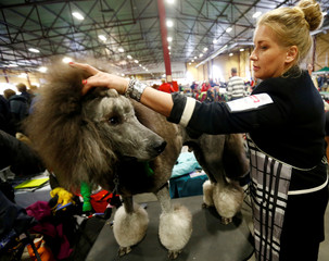 A woman prepares a Grand Caniche dog for a show during the international pets and zoo industry exhibition Pet Expo 2019 in Riga