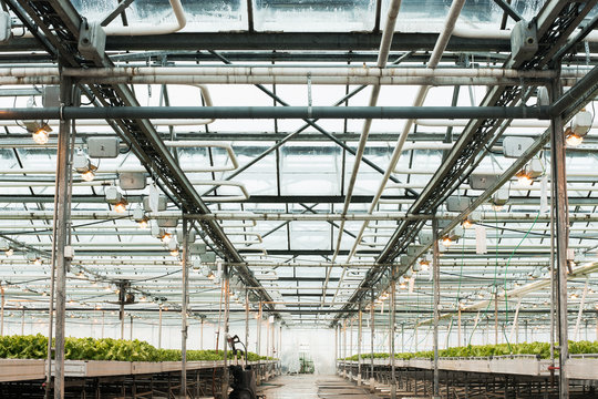 Green House and green vegetable. Young plants growing in a very large nursery