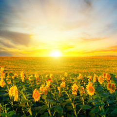 Poster Zonnebloem Field of blooming sunflowers on a background sunrise.