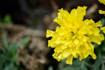 yellow flowers in the garden look like a golden boll.