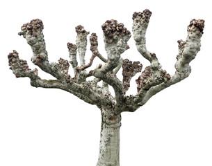 Platanus plane tree grey grafted hybrid isolated on white background
