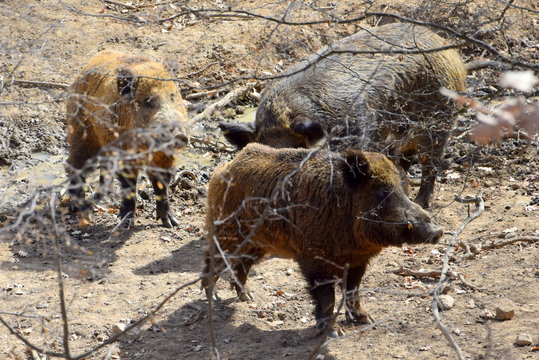 wild boars in theforest