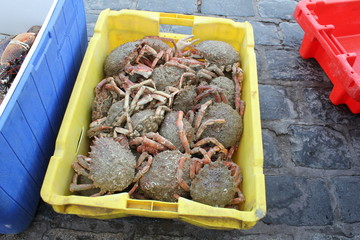 a box with spider crabs that are just caught in the norman sea