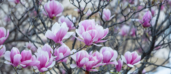 Spring, easter time. Magnolia tree blooming closeup view, banner