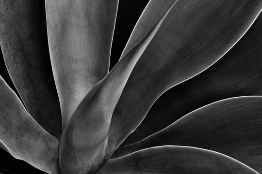sensual dynamic flowing agave plant in black and white with exquisite curves