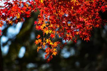 日本の秋・紅葉するイロハモミジ
