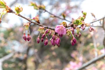 花咲く前の桜