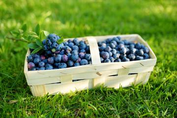 Fresh ripe blueberries in cute wooden basket on a grass under blueberry bush.