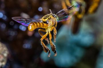 bee Tetragonisca angustula flying macro photo -  Bee Jatai / Tetragonisca angustula