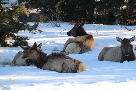 Resting Elk Herd, Jasper National Park, Alberta
