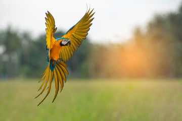 Blue and gold macaw flying,Beautiful bird
