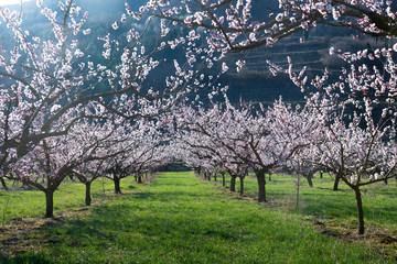 Marillenblüte der Wachau bei Spitz an der Donau