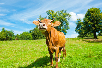 Wall Mural - Brown cow on the field in sunny summer day