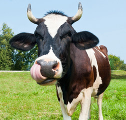 Fototapete - Funny cow in a field in sunny summer day