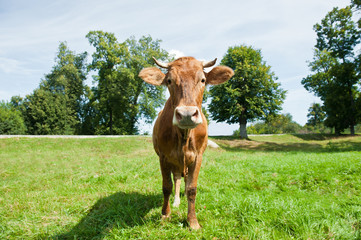 Wall Mural - A brown cow on a field in sunny summer day
