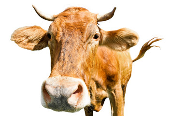 Wall Mural - Curious brown cow (close-up), isolated on white background