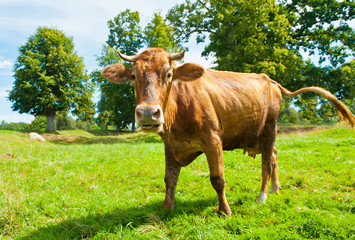 Wall Mural - A brown cow on green grass in summer day