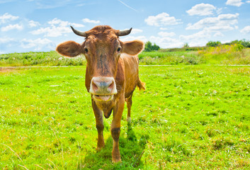 Wall Mural - Curious brown cow on the meadow in sunny summer day