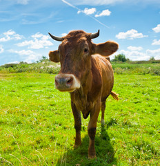 Fototapete - Curious brown cow on the meadow in sunny summer day