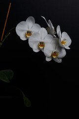 Branch with beautiful orchid flowers on black background