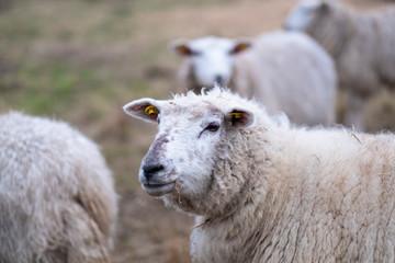 Sheeps in January Fog