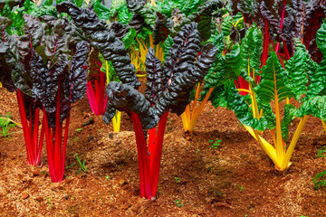 Swiss Chard, rainbow colors vegetable in a plantation.