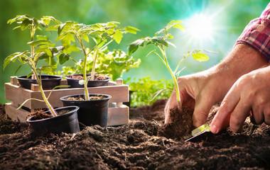 Obraz Farmer planting tomatoes seedling in organic garden - fototapety do salonu