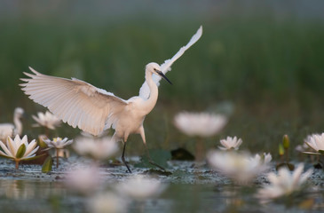 Little Egret dance in Flowers