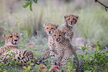 Mother Cheetah and cubs feeding on an Impala.