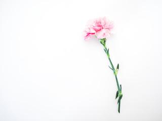 Single Pink carnations flower on white