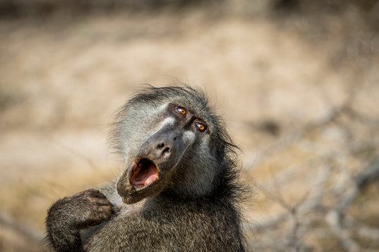 Chacma baboon yawning in the Kruger.