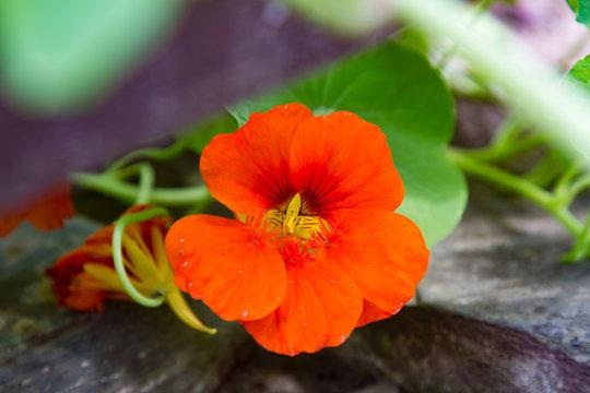 close-up of the red blossom of a nasturtium
