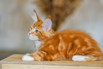 Love for cats. Chic red cat Maine Coon. Animal protection