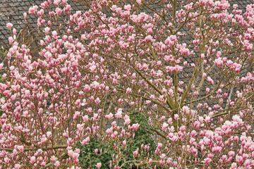 Magnolien im Frühling, blühende Bäume und Blätter