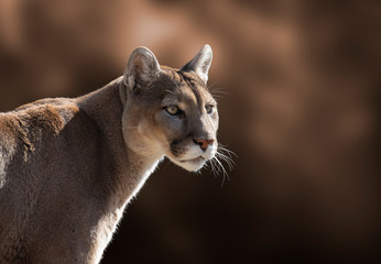 Photo sur Aluminium Puma Cougar Closeup Portrait