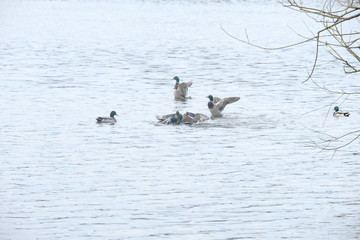 Duck Fight 3