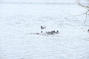 Duck fight 2